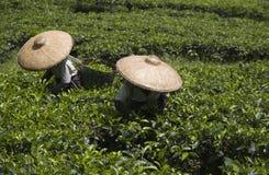 Raccoglitrici del tè immagini stock libere da diritti