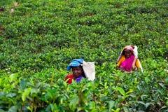 Raccoglitrici del tè Fotografia Stock
