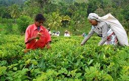 Raccoglitrici del tè delle signore Immagine Stock