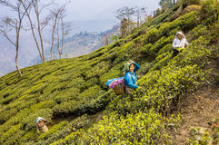 Raccoglitrici del tè di darjeeling fotografie stock libere da diritti