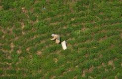 Raccoglitrici del t? che lavorano alla piantagione di t? Le file sceniche dei cespugli del t? e una lavoratrice rurale sono visib fotografie stock