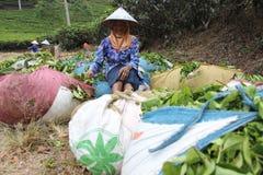 Raccoglitrici Indonesia del tè Fotografia Stock