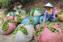 Raccoglitrici Indonesia del tè Immagine Stock