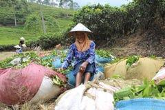 Raccoglitrici Indonesia del tè Immagini Stock