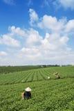 Raccoglitrici vietnamite del tè del peaople nel tè della collina di Bao Loc Immagine Stock