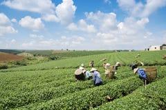 Raccoglitrici vietnamite del tè del peaople nel tè della collina di Bao Loc Immagine Stock Libera da Diritti
