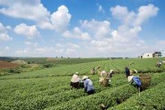 Raccoglitrici vietnamite del tè del peaople nel tè della collina di Bao Loc Immagini Stock Libere da Diritti