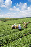 Raccoglitrici vietnamite del tè del peaople nel tè della collina di Bao Loc Fotografia Stock Libera da Diritti