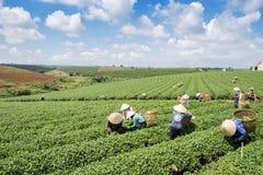 Raccoglitrici vietnamite del tè del peaople nel tè della collina di Bao Loc Fotografie Stock