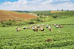 Raccoglitrici vietnamite del tè del peaople nel tè della collina di Bao Loc Fotografia Stock