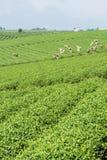 Raccoglitrici vietnamite del tè del peaople nel tè della collina di Bao Loc Immagini Stock