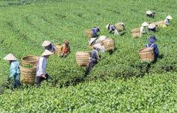 Raccoglitrici vietnamite del tè del peaople nel tè della collina di Bao Loc Fotografie Stock Libere da Diritti