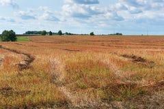 Raccolga il giacimento del grano saraceno con le spighette rosse sotto un cielo blu con le nuvole bianche Fotografia Stock Libera da Diritti