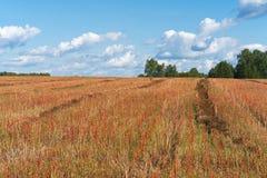Raccolga il giacimento del grano saraceno con le spighette rosse sotto un cielo blu con le nuvole bianche Fotografie Stock
