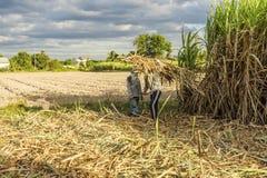 Raccolga il giacimento della canna da zucchero, la provincia di Tay Ninh, Vietnam Fotografia Stock Libera da Diritti
