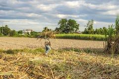Raccolga il giacimento della canna da zucchero, la provincia di Tay Ninh, Vietnam Immagine Stock Libera da Diritti