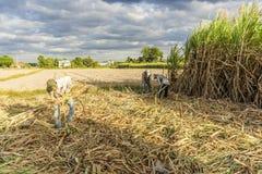 Raccolga il giacimento della canna da zucchero, la provincia di Tay Ninh, Vietnam Immagini Stock