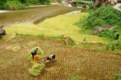 Raccolga il riso Immagini Stock Libere da Diritti