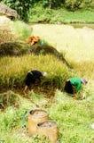 Raccolga il riso Immagini Stock