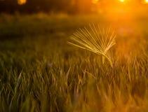 Raccolga il Sun Fotografia Stock