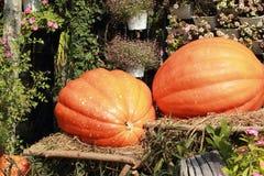 Raccolga l'arancia fresca della zucca nell'azienda agricola per il giorno di Halloween Fotografia Stock Libera da Diritti
