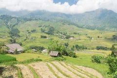Raccolga la stagione nel Vietnam del Nord sul cielo blu dei campi del terrazzo Immagine Stock