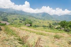 Raccolga la stagione nel Vietnam del Nord sul cielo blu dei campi del terrazzo Fotografie Stock