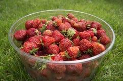 Raccolga le fragole mature e deliziose, in una tazza Immagine Stock Libera da Diritti