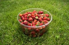 Raccolga le fragole mature e deliziose, in una tazza Fotografie Stock Libere da Diritti
