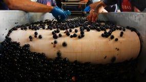 Raccolga a mano la selezione dell'uva in una cantina nell'isola di Mallorca Fotografie Stock