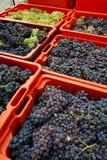 Raccolta 08 dell'uva Immagini Stock