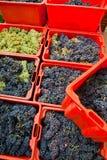Raccolta 10 dell'uva Immagini Stock