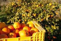 Raccolta arancione fotografia stock