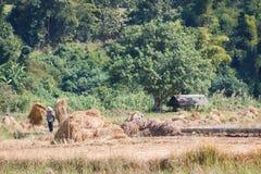 Raccolta asiatica degli agricoltori Fotografie Stock