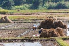 Raccolta asiatica degli agricoltori Fotografia Stock