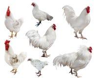Raccolta bianca dei polli e dei galli Fotografia Stock Libera da Diritti