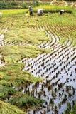 Raccolta cinese del riso Immagini Stock Libere da Diritti