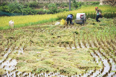 Raccolta cinese del riso Fotografie Stock Libere da Diritti