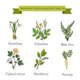 Raccolta d'annata delle erbe e delle piante mediche disegnate a mano, bucaneve, celandine, felce maschio, cotone, hackberry, past Immagini Stock Libere da Diritti