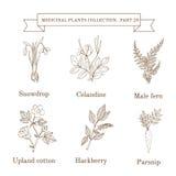 Raccolta d'annata delle erbe e delle piante mediche disegnate a mano, bucaneve, celandine, felce maschio, cotone, hackberry, past Immagine Stock