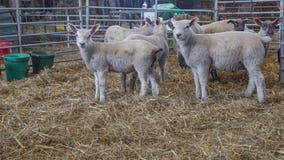 Raccolta degli agnelli da latte Fotografia Stock Libera da Diritti