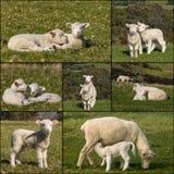 Raccolta degli agnelli neonati fotografia stock