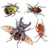 Raccolta degli scarabei Fotografia Stock