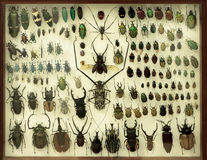 Raccolta degli scarabei sotto un vetro Fotografia Stock Libera da Diritti
