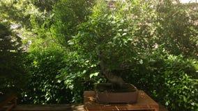 Raccolta dei bonsai Immagini Stock Libere da Diritti