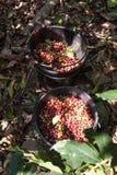 Raccolta dei chicchi di caffè in una piantagione in Tailandia del Nord, dentro Fotografie Stock Libere da Diritti