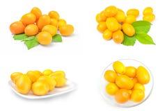 Raccolta dei cumquats Immagine Stock Libera da Diritti