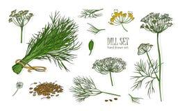 Raccolta dei disegni eleganti della pianta dell'aneto con i fiori, le foglie ed i semi isolati su fondo bianco Erba fragrante illustrazione vettoriale