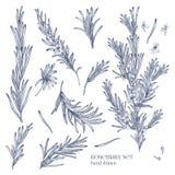 Raccolta dei disegni monocromatici delle piante dei rosmarini con i fiori isolati su fondo bianco Erba fragrante disegnata a mano illustrazione di stock