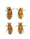 Raccolta dei exuviae della cicala Fotografie Stock Libere da Diritti